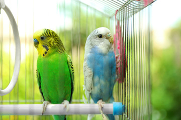 Cute colorful budgies in cage, outdoors