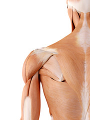 medically accurate anatomy illustration - shoulder muscles
