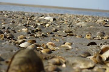 Nordsee Muschelbank