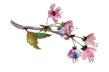 Cherry blossom, sakura branch with pink flowers. Hand painted watercolor illustration. Original art. Greeting card template.