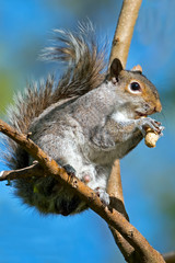 Eastern Gray Squirrel in a tree with peanut