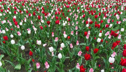 colourful tulips flowers season garden