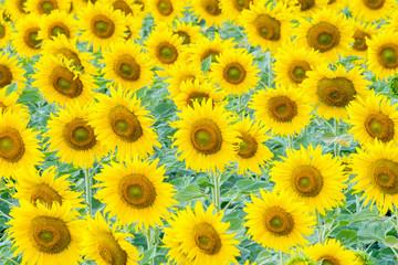 a lot of sunflower in sunflower field