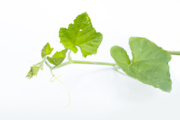Pumpkin vine on white background
