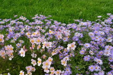 Anemonen und Astern im Garten mit Textfreiraum