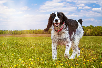 Springer Spaniel Dog Running In Field