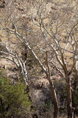 "Arizona Sycamore trees in ""Cochise Stronghold"" in Arizona's Dragoon Mountains"