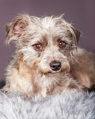 Cute Small Terrier Crossbreed on Grey