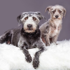 Two Grey Scruffy Terrier Dogs Different Sizes
