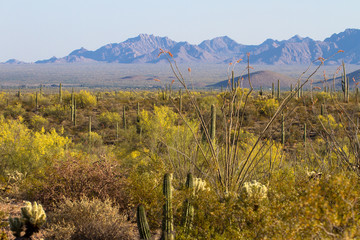 Flowering Ocotillos, Giant Saguaros and Palo Verdes at Organ Pipe Cactus National Monument