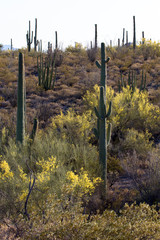 Giant Saguaros, Organ Pipes, and yellow Palo Verdes at Organ Pipe Cactus National Monument
