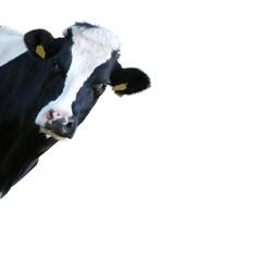 Mucca che guarda