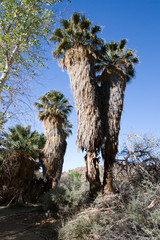 Ancient Palm trees at Cottonwoods Springs in Joshua Tree National Park