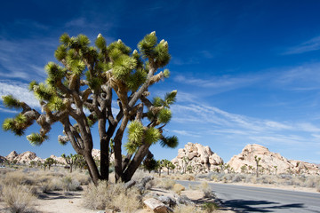 Large Joshua Tree beside the main road in Joshua Tree National Park in California