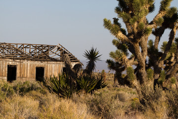 Large Joshua Tree and a ruined ranch building in Mojave National Preserve in California
