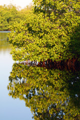 Coastal Florida mangroves at Merritt Island National Wildlife Refuge, with reflections