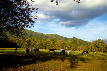 Great Smoky Mountains National Park horses in the Cades Cove area