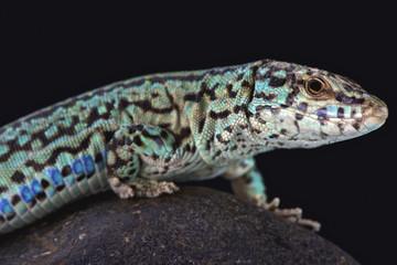 Ibiza wall lizard (Podarcis pityusensis formenterae)