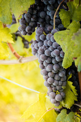 Wall Mural - Bunch of Nebbiolo grapes in the vineyard