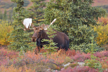 Bull Moose (alces alces) Denali National Park, Alaska