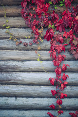 red leaves parthenocissus. parthenocissus creeping branches with red leaves on the wall of the log house