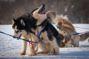 a pair of husky dogs in harness bark and rocks, winter, Russia