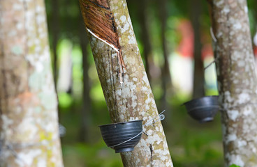 Milky latex extracted from rubber tree (Hevea Brasiliensis) as a