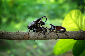 Rhinoceros beetle Fighting one another on wood in forest