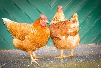 Freilaufende Hühner vor einem Scheunentor