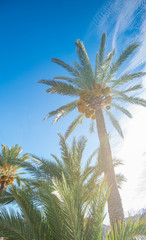 Palmenstrand Alcudia, Mallorca