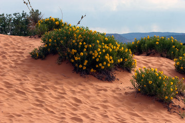 Dune Sunflowers and textured sand at Coral Pink Sand Dunes State Park in Utah