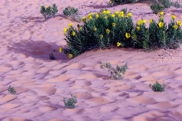 Dune Sunflowers and pink sand in Coral Pink Sand Dunes State Park in Utah