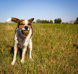 Funny Australian cattle dog in grassy field with blue sky and yellow ball in mouth