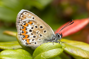 Digital photo of a brownie, Lycaenidae resting on lingonberry sprigs