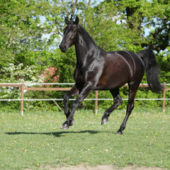 Fototapete - Amazing black dutch warmblood running