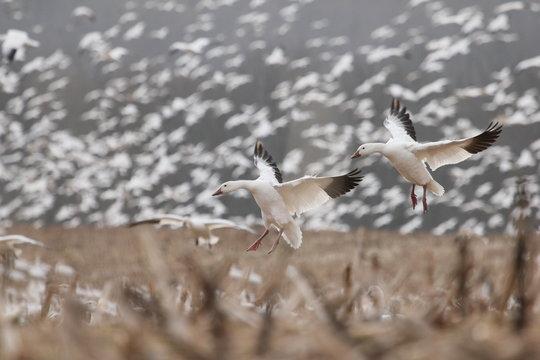 landing snow geese