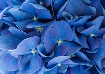 Fond de hotte en verre imprimé Hortensia Blue Hydrangea macrophylla flower