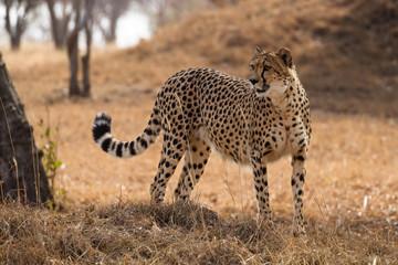 Gepard stehend