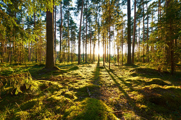 Fotobehang Bossen Sunrise in pine forest