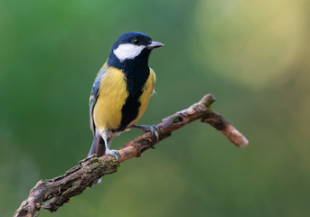 Great tit. Adult male