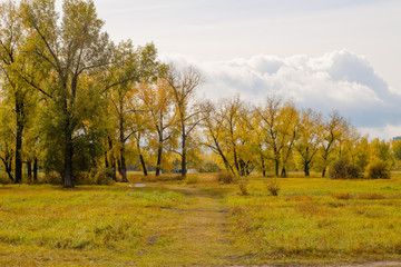 Field and poplar grove in autumn dress bright in cloudy weather