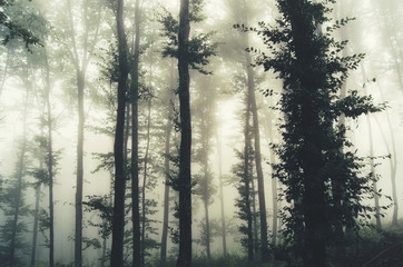 trees in foggy forest Wall mural