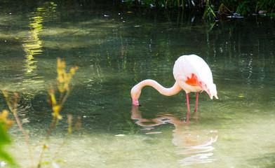 Phoenicopteriformes Flamingo