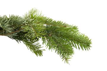 Green fir branch