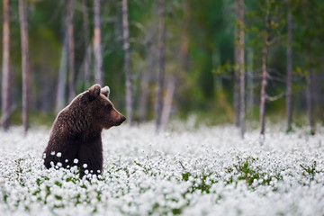 Brown bear between cotton grass