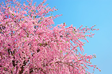 Cherry blossom, is on blue sky background