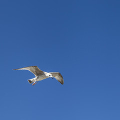 A seagull in flight isolated on blue sky background