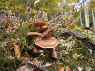 mushrooms and heather in the autumn forest - shallow depth of field
