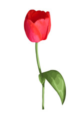beautiful red tulip  flower with the effect of a watercolor drawing isolated on white background.