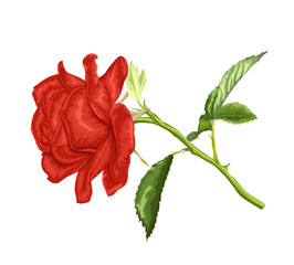 beautiful red rose with long stem and leaves  isolated on white background.